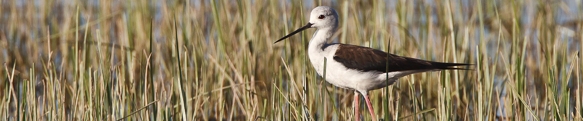 Black-winged Stilt © Albert Stoecker