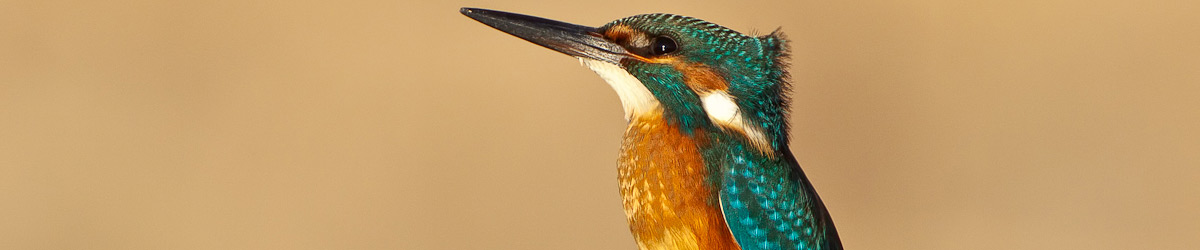Kingfisher © Albert Stoecker