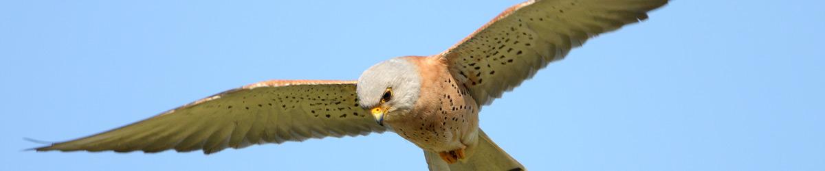Lesser Kestrel © Dave Nye